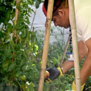 Andres Castillo harvests tomatoes