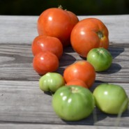 Freshly cut tomatoes from the Trilok School Garden