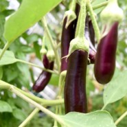 Eggplants grow in the garden at AHRC NYC's Bellrose residence
